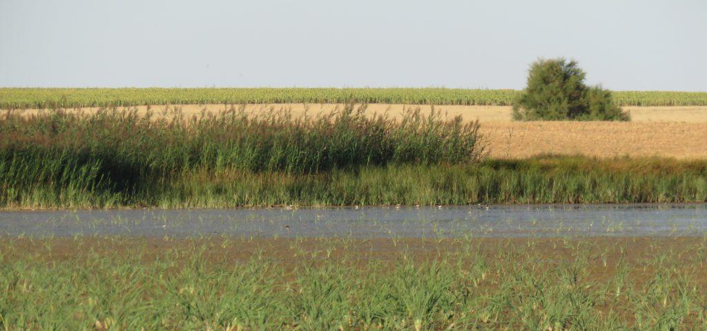 Aspecto de la laguna de Boada durante el verano de 2018, humedal donde se capturó el carricerín común anillado en Bélgica y protagonista de esta noticia.