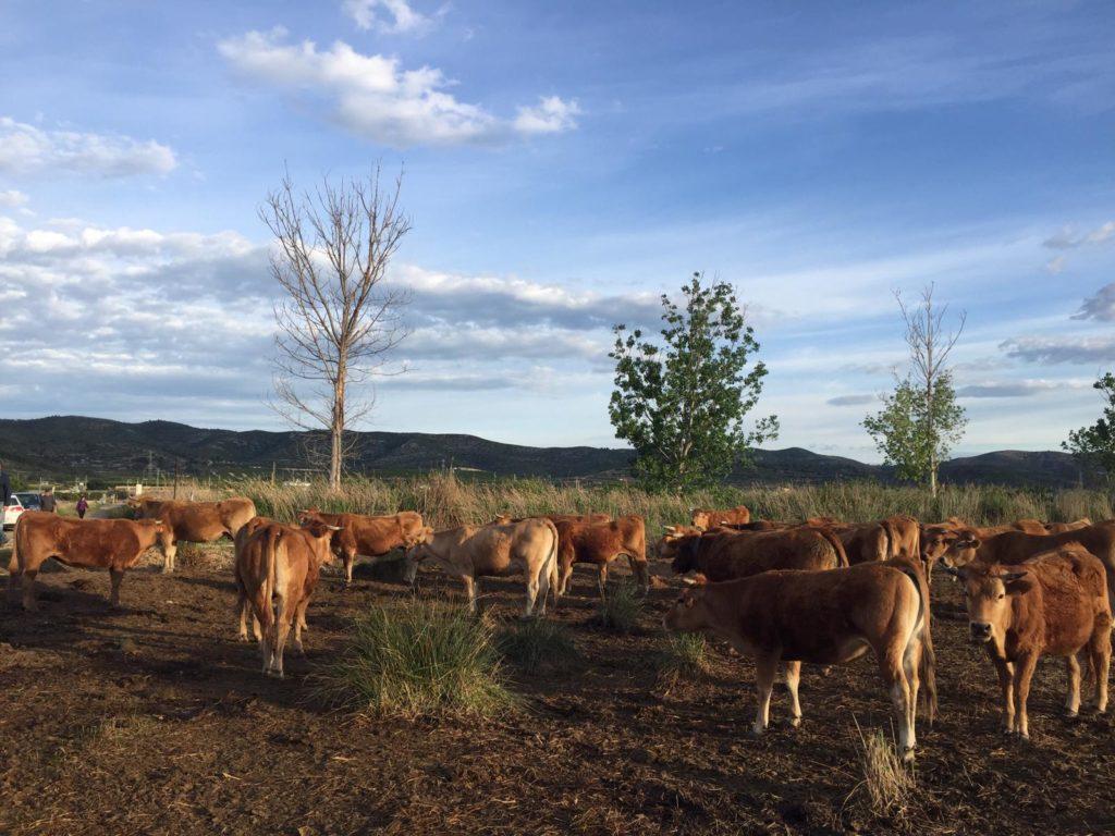 Vacas en el Prat de Cabanes