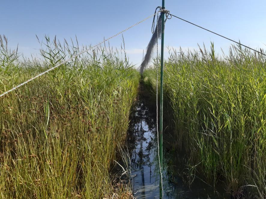 Tareas de desbroce de vegetación palustre, creación de pasillos y montaje de redes de captura de aves. Laguna de Boada.
