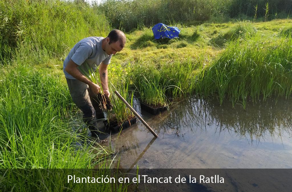 (Español) FINALIZAN LAS PLANTACIONES EN LA RATLLA