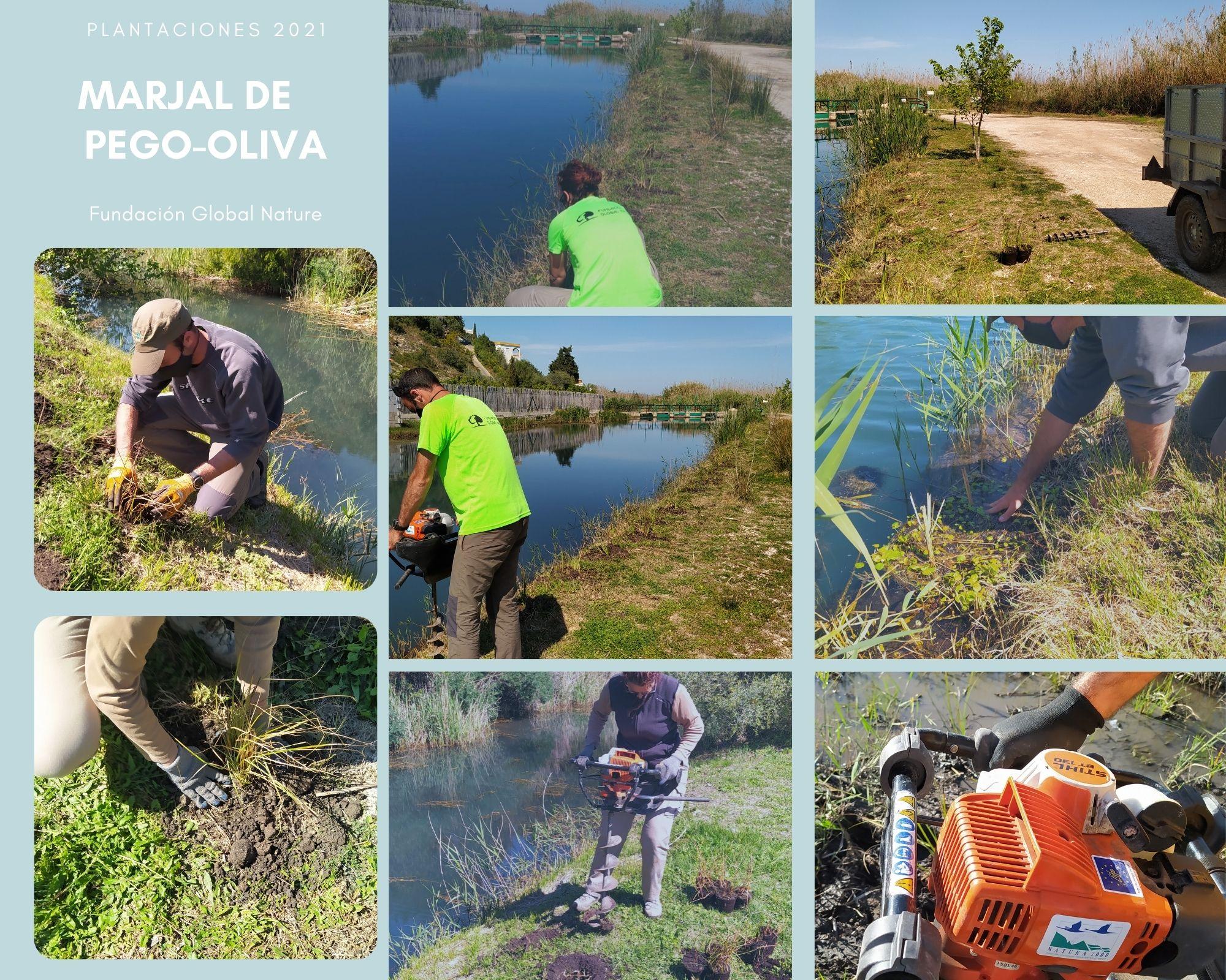 C:\FOTOS_FGN_LIFE_FOTOS\C4_Plantaciones\2021_03_Marjal Pego-Oliva\Marjal de Pego-Oliva collage.jpg