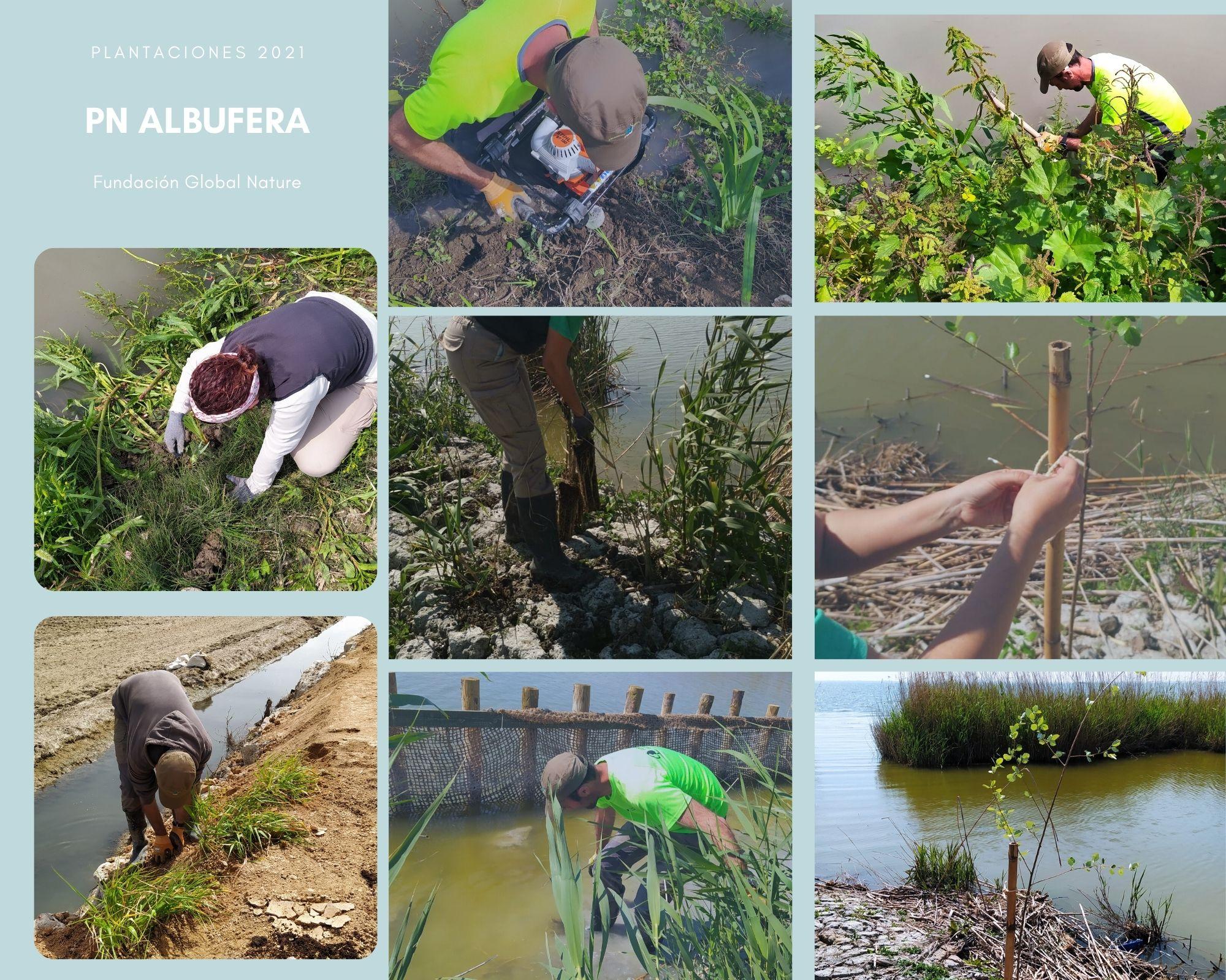C:\FOTOS_FGN_LIFE_FOTOS\C4_Plantaciones\2021_03_PN ALBUFERA\COLLAGE ALBUFERA.jpg